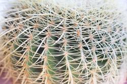 Thorn cactus texture background, close up.