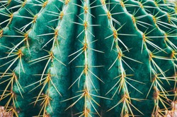 thorn cactus texture background, close up.