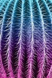 Thorn cactus texture background in close up view. Holographic toned colors.