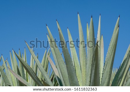 """Thorn leaves of espadín """"smallsword"""", (Agave angustifolia), the predominant agave in Oaxaca, Mexico, used for making mezcal, against a blue sky background."""