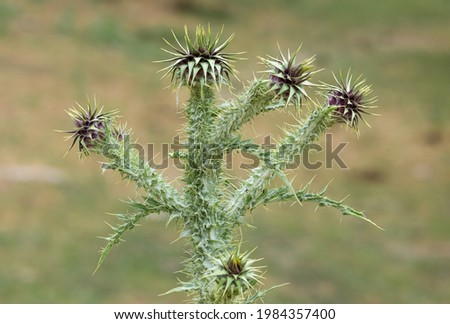 thorn, thorn plant, thorns, flowering thorn, natural thorn