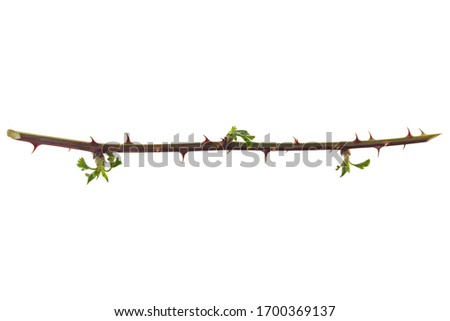 Thorns branch isolated on a white background. Twig with thorns isolated on white background. part of the stem roses with thorns isolated on white background.