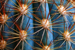 Thorns of a cactus. Close up sharp thorns of cactus full in frame.