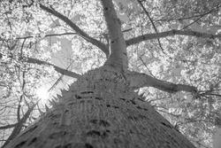 thorns on the trunk of the Chorisia speciosa tree