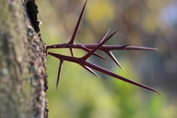 Thorns sprouting from a tree in autumn. Thorns are hard, rigid extensions of leaves and generally serve the same function: physically deterring animals from eating the plant material