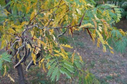 Thorny branch of honey locust with yellow and green leafage in October