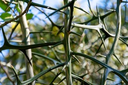 thorny branches of a green tree close-up
