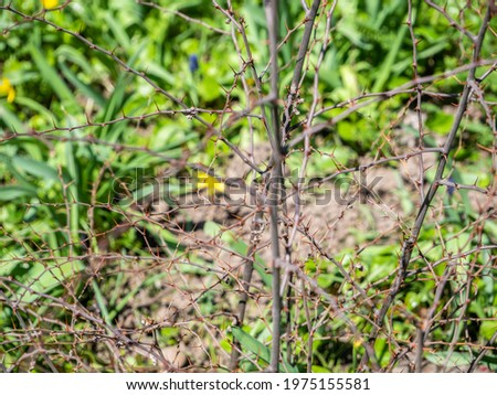 Thorny branches of Paliurus spina-christi, commonly known as Jerusalem thorn, garland thorn, Christ's thorn, or crown of thorns plant