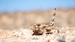 Thorny devil lizard spotted on a road near Coral Bay in Western Australia.