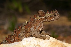 Thorny Devil, Moloch horridus, ant-eating lizard in its natural habitat in Western Australia, lateral view