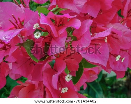 Thorny hot pink bougainvillea on the bush ez canvas thorny hot pink bougainvillea on the bush mightylinksfo