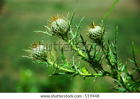 Thorny Weeds http://www.shutterstock.com/pic-519448/stock-photo-thorny-weeds.html