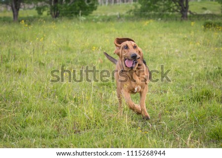 Thoroughbred Bloodhound dog has fun outdoors at summer day #1115268944