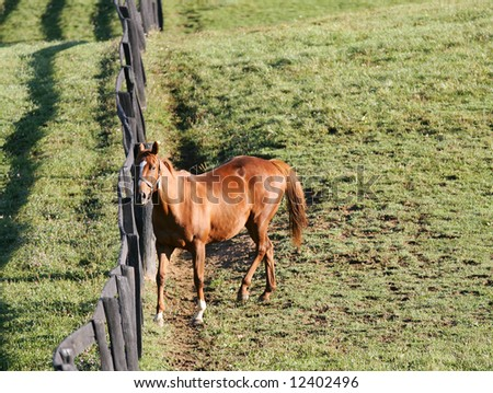 Thoroughbred Brood Mare Grazing on a Spring Day along a Paddock Fence