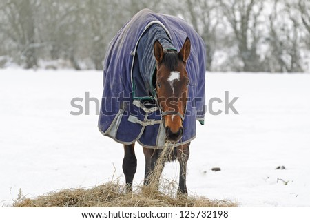 Thoroughbred horse eating hay in a snow covered paddock