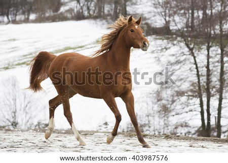 thoroughbred horse in the snow #403987576