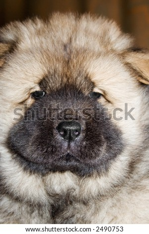 thoroughbred puppy of a chow breed