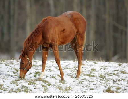 Thoroughbred race horse on farm running in morning snow.