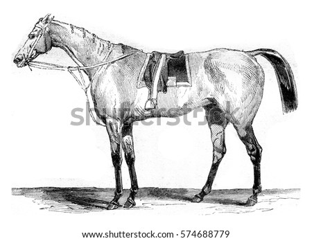 thoroughbred racehorse  vintage ...