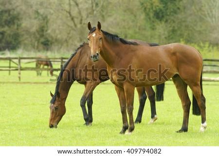 Thoroughbred Stallion horses grazing in pasture enjoying the early spring sunshine, The Cotswolds, Gloucestershire, England, UK