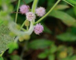 Thottavadi - Mimosa Pudica - Flower