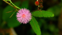 Thottavadi  Sensitive plant