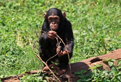 Though young chimps are precocious and independant, their mothers and aunts keep a close eye on them