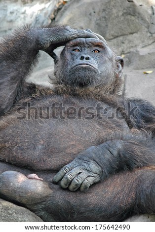 Thought, Wisdom concept: orangutan with a pensive look.