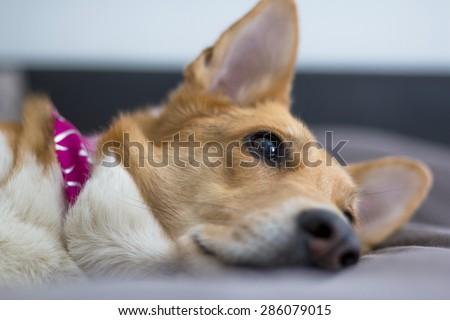 Thoughtful dog lying down