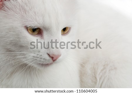 thoughtful white cat close up shot
