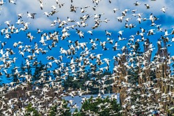 Thousands Many Snow Geese Flying Skagit Valley Washington