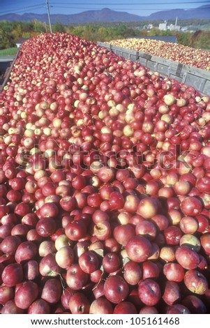 Thousands of apples being driven to process after the harvest in NY - stock photo