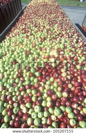 Thousands of apples being driven to process after the harvest in NY