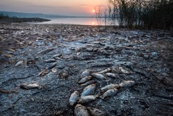 Thousands of dead fish lie on the shore of a lake.