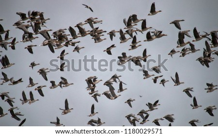 Thousands of geese (bean goose and white-fronted goose) in sky - whole sky is covered with birds. Huge flocks of migrating birds fly home