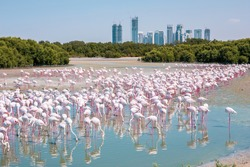 Thousands of Greater Flamingos (Phoenicopterus roseus) at Ras Al Khor Wildlife Sanctuary in Dubai, wading in lagoon and fishing, with Dubai skyline in the background.
