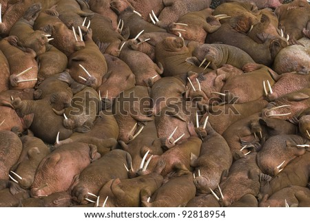 Thousands of male walruses (Odobenus rosmarus) sunbathing together on the beaches of Round Island, Walrus Islands State Game Sanctuary in Bristol Bay, Alaska, USA.