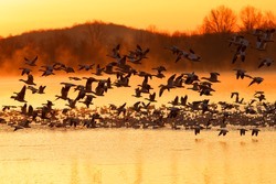Thousands of migrating Snow Geese ( Chen caerulescens ) fly from a misty lake at sunrise in Lancaster County, Pennsylvania, USA.
