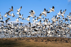 Thousands of Snow Geese fly from a hillside at Middle Creek Wildlife Management Area in Lancaster County, Pennsylvania,USA.