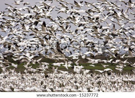 Thousands of snow geese in mid-air during their migration for a mosaic that fills the sky. This large flock of black and white birds was foraging for food on a farm in the Skagit Valley in Washington.