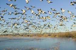 Thousands of snow geese take off at sunrise at the Bosque del Apache National Wildlife Refuge, near San Antonio and Socorro, New Mexico