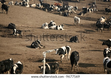 Thousands upon thousands of cows on a cattle ranch do what cows do best