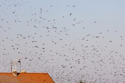 Thousandsof starling birds in the sky above the roofs at the Ventė Cape ornithological  station. Birds migration concept.