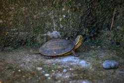 thr little turtle