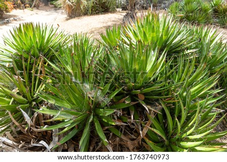 Thread Agave, Agave filifera,, also commonly known as Thread-leaf Agave or Hairy Agave from Mexico