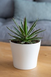 Thread leaf Agave (Agave schidigera Durango Delight) succulent in modern interior house