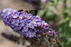 Thread-Waisted Wasp on lavender colored flowers.