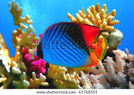 Threadfin butterflyfish (Chaetodon auriga) coral, Red Sea, Egypt stock photo