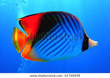 Threadfin butterflyfish (Chaetodon auriga), Red Sea, Egypt