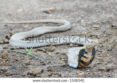 Threatening Mozambican Spitting Cobra